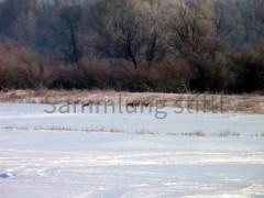 Rehe im Winter 2010